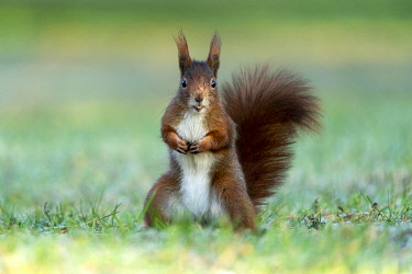 IBXRON05124700 Eurasian red squirrel (Sciurus vulgaris) stands upright, Germany, Europe