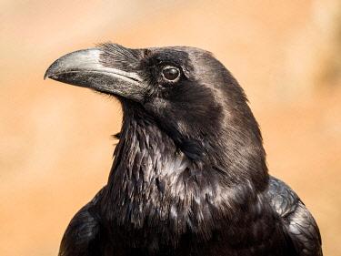 IBXYUC05128060 Common raven (Corvus corax), animal portrait, Fuerteventura, Canary Islands, Spain, Europe