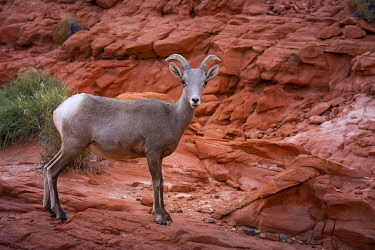 USA15344AW Desert bighorn sheep on rocks in Valley of Fire State Park, Nevada, Western United States, USA