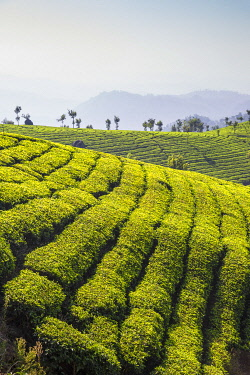 IN471RF India, Kerala, Munnar, View over tea estates