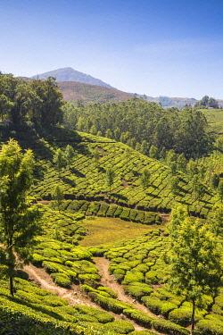 IN482RF India, Kerala, Munnar, Tea estate