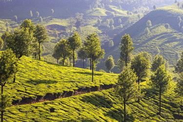 IN486RF India, Kerala, Munnar, Tea estate