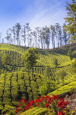 IN04453 India, Kerala, Munnar, Tea Estate