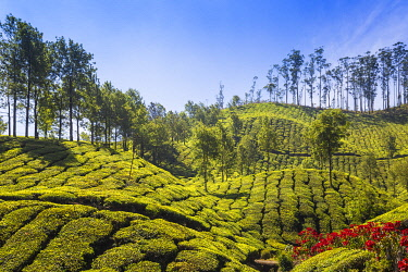 India, Kerala, Munnar, Tea Estate