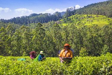 IN04464 India, Kerala, Munnar, Tea pickers