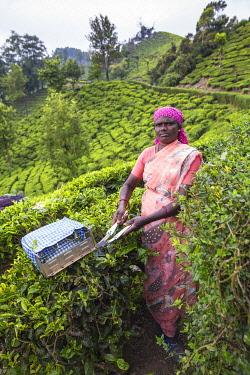 IN04465 India, Kerala, Munnar, Tea picker