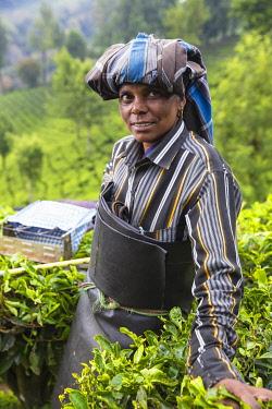 IN04467 India, Kerala, Munnar, Tea picker