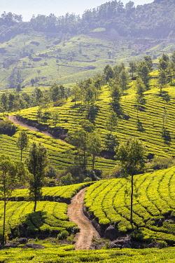 IN04473 India, Kerala, Munnar, Tea estate