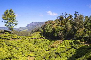 IN04514 India, Kerala, Munnar, Tea estate