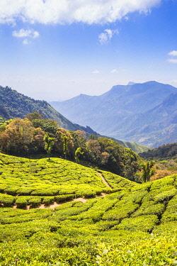 IN04516 India, Kerala, Munnar, Tea estate