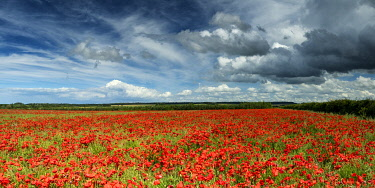 ENG16811AW Field of English Poppies, Norfolk, England