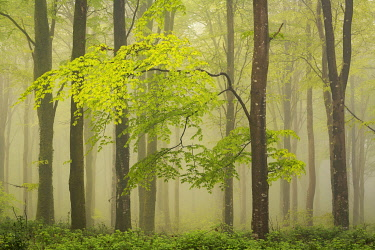 ENG16787AW Beech trees with new leaves in a foggy deciduous woodland, Bodmin, Cornwall, England