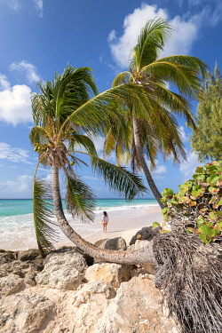 CLKAB129465 Woman walks on the beach framed from curved palm trees, Dover Beach, Oistins, Barbados Island, Lesser Antilles, West Indies
