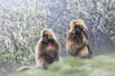 CLKMG126130 Gelada baboons in Simien Mountains National Park, Ethiopia