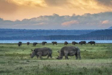CLKMG123956 northern white rhinoceros or northern square-lipped rhinoceros (Ceratotherium simum) in Lake Nakuru National Park, Kenya.