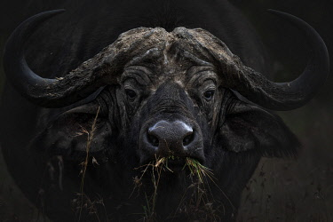 CLKMG123957 African buffalo or Cape buffalo (Syncerus caffer) in Lake Nakuru National Park