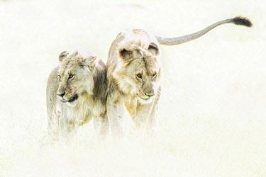 CLKMG123960 a pair of Lion (panthera leo) in the maasai mara national reserve, kenya