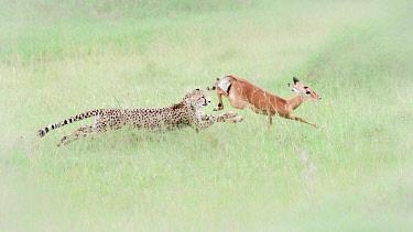 CLKMG123972 Cheetah (acinonyx jubatus) hunting an impala (Aepyceros melampus) in the Maasai Mara National Reserve, Kenya