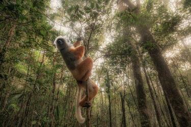CLKMG123936 Lemur sifaka diadema (Propithecus diadema) in Andasibe Mantadia National Park, Madagascar, Africa.