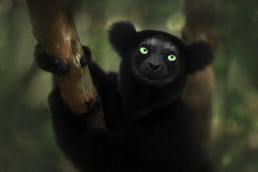 CLKMG123937 indri (Indri indri) portrait in eastern Madagascar, Palmarium Reserve, Africa.