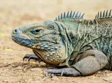 CYI1072AW Blue iguana (Cyclura lewisi), Queen Elizabeth II Botanic Park, North Side, Grand Cayman, Cayman Islands