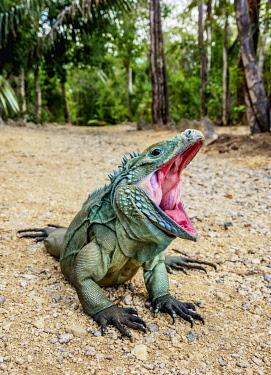 CYI1074AW Blue iguana (Cyclura lewisi), Queen Elizabeth II Botanic Park, North Side, Grand Cayman, Cayman Islands