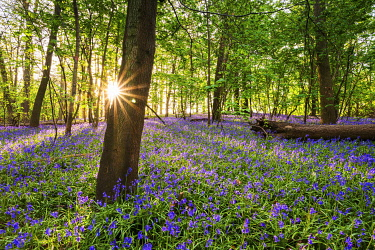 ENG16816AW Bluebell field, Oxfordshire, England, Europe