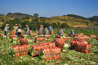 IBLGTH05141123 Shan farmers, field workers harvesting Chinese cabbage, near Pyin U Lwin, Mandalay District, Myanmar, Asia