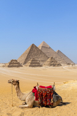 EGY1736AW Camel at the Pyramids of Giza, Giza, Cairo, Egypt