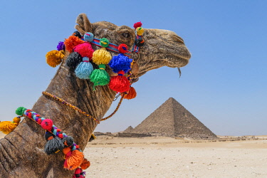 EGY1762AW Camel at the Pyramids of Giza, Giza, Cairo, Egypt
