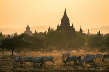 MYA2623AWRF Cattle grazing by Temple 820, UNESCO, Old Bagan, Mandalay Region, Myanmar