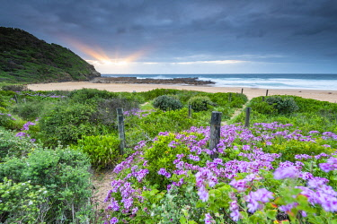 AUS4180AW Flowers and path to the beach at sunrise. North Avoca, Central Coast, New South Wales, Australia