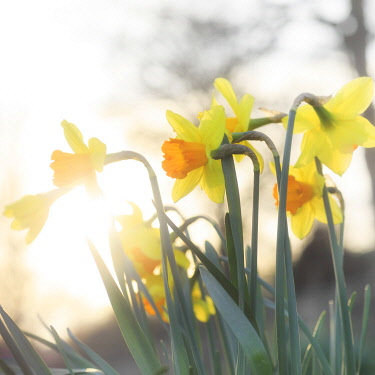 England, West Yorkshire, Calderdale. Daffodils in evening sunlight.