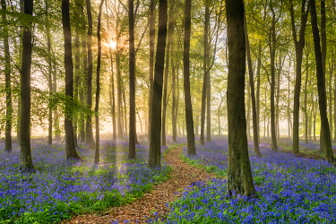 Path Through Bluebell (Hyacinthoides non-scripta) Wood in Mist, Hertfordshire, England