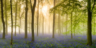 ENG16878AW Woodland of Bluebells in Mist (Hyacinthoides non-scripta) Hertfordshire, England