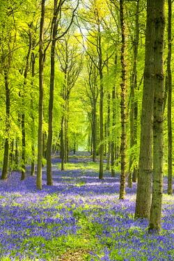 ENG16881AW Woodland of Bluebells (Hyacinthoides non-scripta) Hertfordshire, England