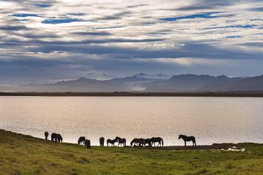 ICE42371 South Iceland, Icelandic Horses, (Equus ferus caballus)