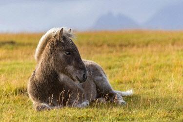 ICE42377 South Iceland, Icelandic Horses, (Equus ferus caballus)
