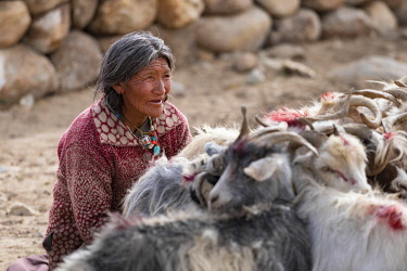 IND8616 India, Tso Moriri, Changpa nomad woman tending to her Goats