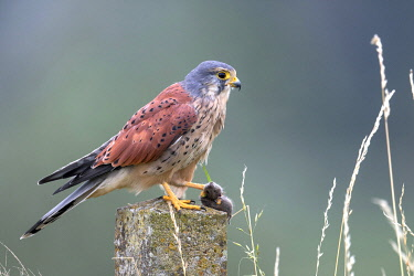 Common Kestrel (Falco tinnunculus) male perched on top of a stone fence post with a mouse in claws, Flevoland, the Netherlands