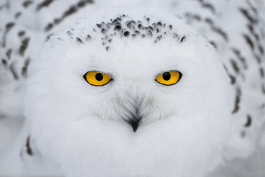 Snowy Owl (Bubo scandiacus) portrait, looking at camera