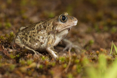NIS00060283 Common Spadefoot Toad (Pelobates fuscus) female, Nuland, Noord-Brabant, The Netherlands