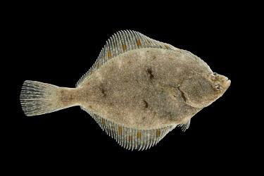 NIS00060292 European Flounder (Platichthys flesus) adult isolated on black background, Westerschelde, Zeeland, The Netherlands