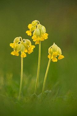 NIS00060338 Cowslip flowers, Hardington Moor, Dorset, England