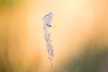 NIS00060535 Common Blue (Polyommatus icarus) on seedhead at sunset, Zeeland, The Netherlands