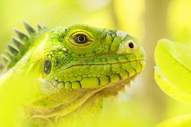 NIS00060795 Lesser Antillean Iguana (Iguana delicatissima) close up, St. Eustatius, Caribbean Netherlands