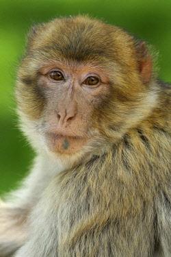 NIS00065856 Portrait of a Barbary MacaqueÂÂ�(Macaca sylvanus)