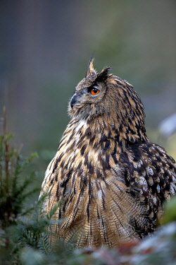 Eurasian Eagle Owl (Bubo Bubo) perched on the ground in a forest, Gelderland, the Netherlands