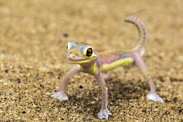 NIS00066706 Palmato Gecko (Pachydactylus rangei) standing on sand, Swakopmund, Namibia