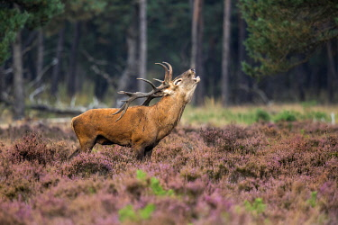 NIS00066870 Red Deer (Cervus elaphus), adult stag bellowing in moorland, Nationaal Park De Hoge Velwuwe, Gelderland, Netherlands